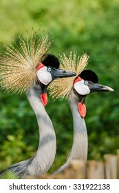 Beautiful Grey Crowned Crane close up