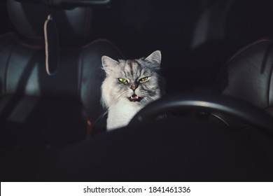 Beautiful grey domestic purebred cat with green eyes and open mouth sitting in the car. Cat closed in the car. Road trip with cat