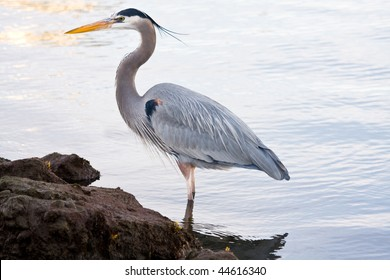 Beautiful grey heron (Ardea cinerea) portrait at the beach