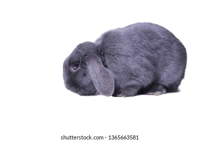 Beautiful grey rabbit in front of a white background
