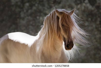 The beautiful grey stallion