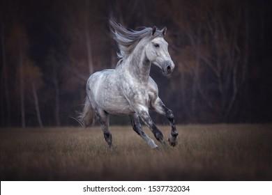 Beautiful grey stallion running free on a meadow.