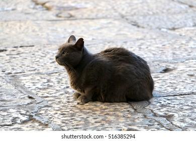 Beautiful grey stray cat on a cobblestone street. Selective focus.