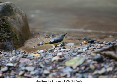 Beautiful Grey wagtail (Motacilla cinerea), low angle view, side shot, foraging on the riverbank of the stream in Mueang Klong. a small town near Chiang Dao wildlife Sanctuary, north of Thailand.