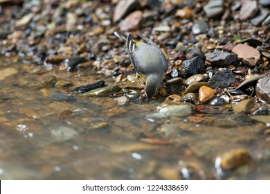 Beautiful Grey wagtail (Motacilla cinerea), low angle view, side shot, foraging on riverbank with full of pebbles in Mueang Klong. a small town near Chiang Dao wildlife Sanctuary, north of Thailand.