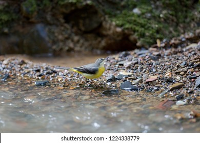 Beautiful Grey wagtail (Motacilla cinerea), low angle view, side shot, foraging on riverbank of the stream in Mueang Klong. a small town near Chiang Dao wildlife Sanctuary, north of Thailand.