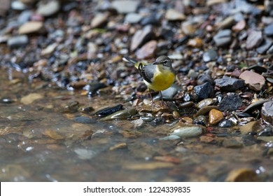 Beautiful Grey wagtail (Motacilla cinerea), low angle view, front shot, foraging on riverbank with full of pebbles in Mueang Klong. a small town near Chiang Dao wildlife Sanctuary, north of Thailand.