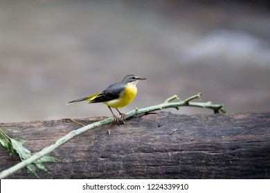 Beautiful Grey wagtail (Motacilla cinerea), low angle view, side shot, in the morning foraging on twig of fallen tree over the riverbank of stream near Chiang Dao wildlife Sanctuary, north of Thailand
