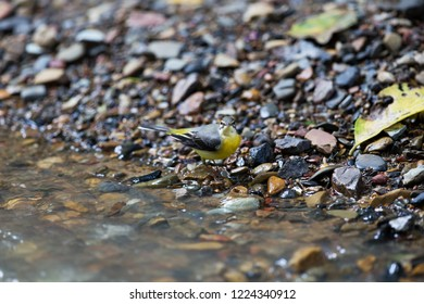 Beautiful Grey wagtail (Motacilla cinerea), low angle view, front shot, foraging on riverbank which full of pebbles in Mueang Klong. a small town near Chiang Dao wildlife Sanctuary, north of Thailand.