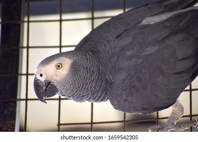 beautiful grey and white african parrot with yellow eyes  in aviary enclosure