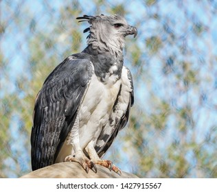 A beautiful grey and white Harpy eagle proudly sitting on a branch of a tree in the wild.