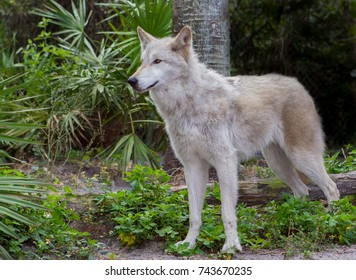 Beautiful grey wolf looks for danger