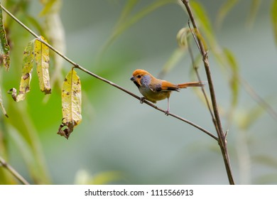 Beautiful Grey-breasted parrotbill (Suthora poliotis), angle view, side shot, foraging on small branch in nature, it's uncommon resident in Chong Yen, Mae Wong National Park, the northern of Thailand.
