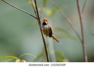 Beautiful Grey-breasted parrotbill (Suthora poliotis), angle view, front shot, foraging on small branch in nature, it's uncommon resident in Chong Yen, Mae Wong National Park, the northern of Thailand
