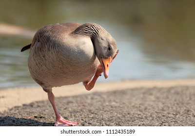 Beautiful Greylag goose bird standing alone on one foot,put the other leg to it's ear near the water.This is the largest of the grey geese and ancestor of the domestic goose.