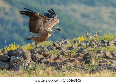 beautiful griffon vulture taking off with forest in background