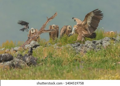 beautiful griffon vultures relaxing and drying wings after rain
