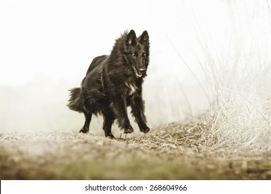 beautiful groenendael dog puppy running in spring nature