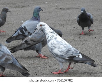 Beautiful Group of Pigeons on street corner eating grains on floor