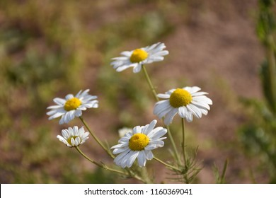 Beautiful growing Chamomile flowers closeup