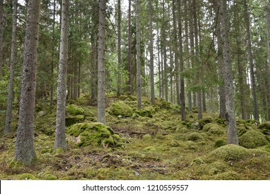 Beautiful growing mossy spruce tree forest