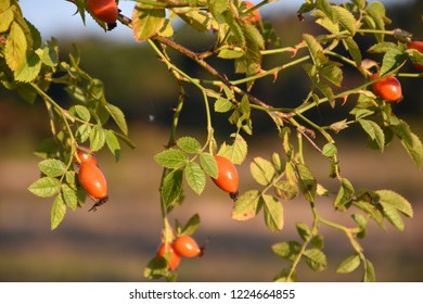 Beautiful growing red matured rose hip berries