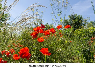 Beautiful growing summer flowers, poppies in a lush greenery