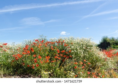 Beautiful growing summer flowers, poppies and chamomile flowers by a blue sky