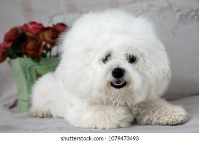 Beautiful grown up Bichon Frise pure breed dog lying and looking into camera