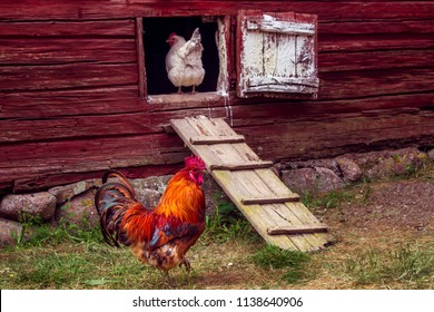 Beautiful grown healthy rooster walking in rural yard. White hen standing in coop door or entering chicken coop. Cock going on grass, chicken looking on it. Coop in a swedish traditional red farmhouse