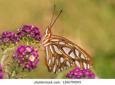 Beautiful Gulf Fritillary butterfly drinking nectar out of purple Alyssum flowers