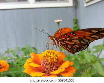 A beautiful Gulf Fritillary butterfly feeding on a zinnia flower.