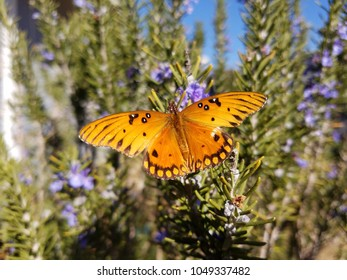 A beautiful Gulf Frittilary butterfly feeding on blooming rosemary bushes at an organic farm.