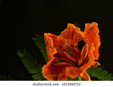 beautiful gulmohar flower with leaves and buds