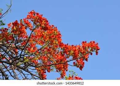 beautiful Gulmohar flowers with blue sky background