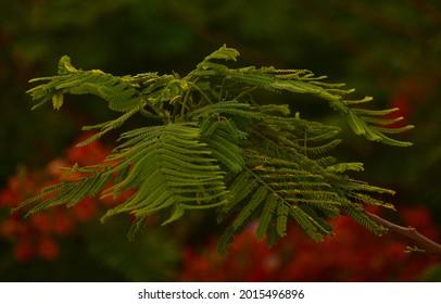 Beautiful Gulmohar (Guldaudi) Sevti flower and its beautiful leaves