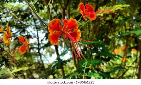 Beautiful Gulmohar or Royal Poinciana flower blooming, selective focus