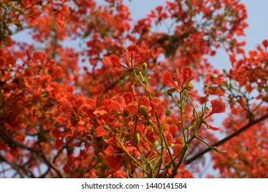 Beautiful gulmohar in the summer season