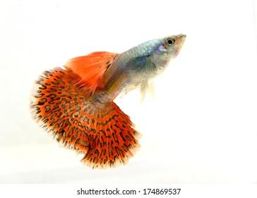 Beautiful Guppy Fish Isolated on white