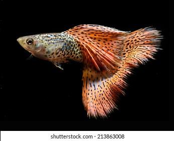 Beautiful Guppy Isolated on Black Background,  Aquarium Fish