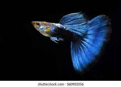 The Beautiful Guppy Isolated on Black