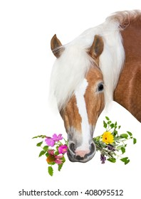 Beautiful Haflinger Horse eating herbs for natural Diet, to stay healthy or for treatment of disease.