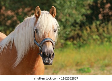 beautiful haflinger horse on a pasture, looking into camera