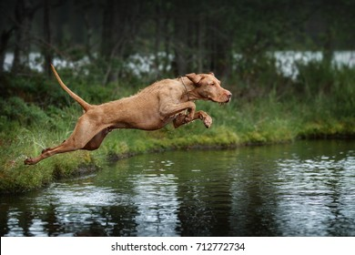 Beautiful haired dog Vizsla jumping into the water