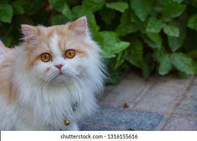 Beautiful hairy cat with big eyes a ring on her nick.