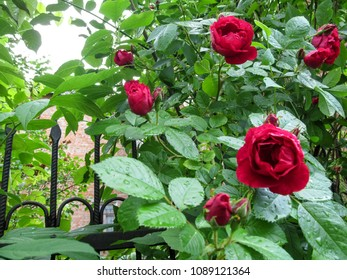 Beautiful half-opened bright red rose flowers against the background of green leaves with drops of dew.