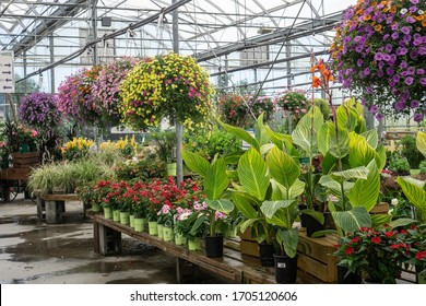Beautiful hanging baskets in greenhouse in spring.