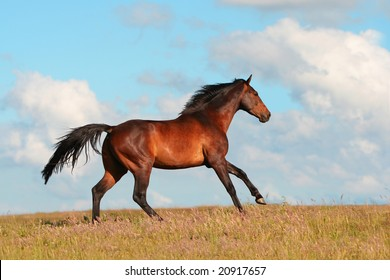 beautiful hanoverian horse on the meadow
