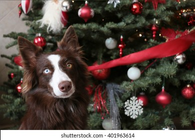 A beautiful happy dog behind a christmas tree
