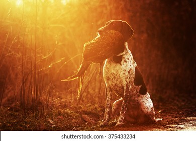 beautiful, happy, healthy, young and cavorting German Shorthaired Pointer dog or puppy sitting in the mouth of everything is pheasant hunting training in the forest at sunset,